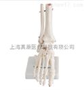 自然大脚关节模型
