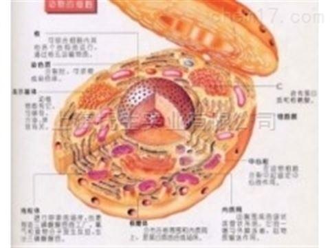 人结肠癌转基因细胞;RKO-AS45-1图片
