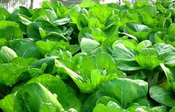 采用叶绿素测定仪测定叶片的SPAD值,在大青菜整个生长发育过程中,从开始定植到收获之前分3个时期,5次测量叶绿素指标,即生长前期(9月23日)、生长中期(10月24日、11月6日)、生长后期(12月17日、25日),测定叶绿素仪读数时用大青菜的外围展开的叶片中部,避开叶脉和有损伤的部位,每个小区随机选取10片左右长势一致,无外表损伤的菜叶,测定结果取其平均值;产量用电子称测量。硝态氮含量测定:取收获时(12月25日)测定过SPAD值的叶片,每个氮肥处理选取2个样品,共10个已知SPAD值的叶片,去叶脉称重