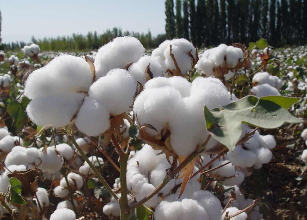 有机棉花种植应该这样改良土壤!