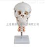 头骨带颈椎模型